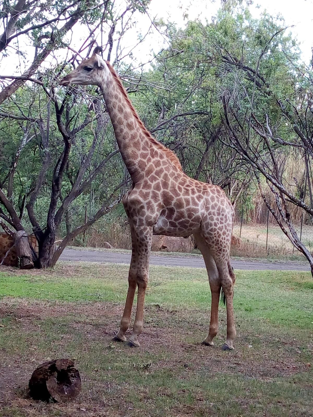 Mr. Giraffee is a resident of Farm Inn Hotel, Pretoria South Africa.