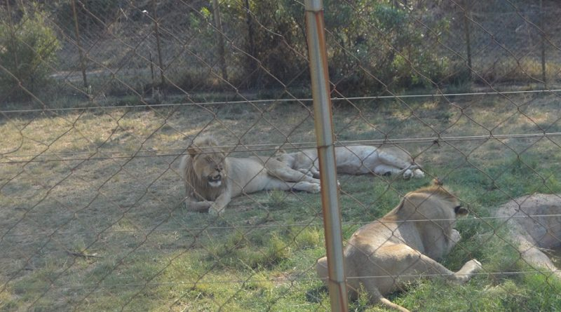 The king of the Judge. There are approx 35,000 lions in captivity in South Africa