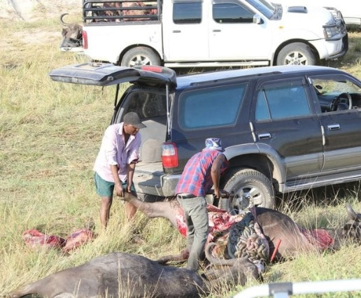 Buffaloes drown on river Chobe in Botswana