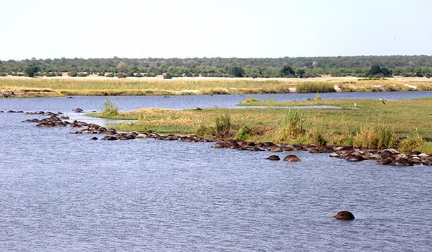 Chobe river buffaloes drown