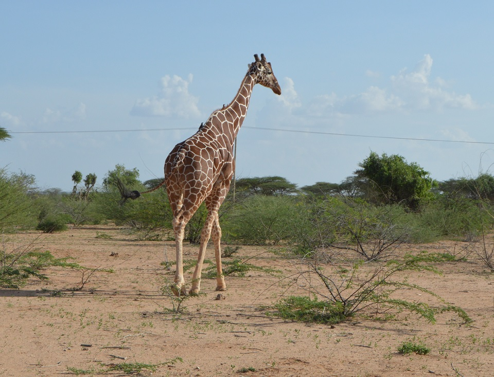 A part from this Giraffe, the wildlife sanctuary has over 162 animal species according to reliable sources. There are orxy, lions, Gravy Zebras, dik diks, hippos and crocodiles on river Tana among others.