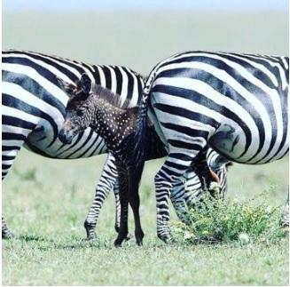 Rare zebra seen in Kenya