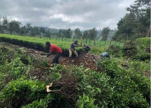 Kenyan farmers uproot tea in protest of poor bonus revenues