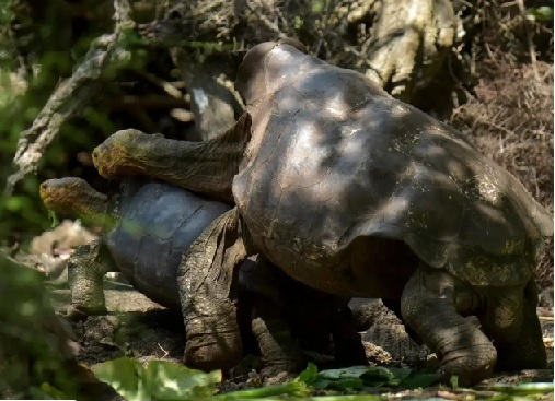 Diego the tortoise helped save his species
