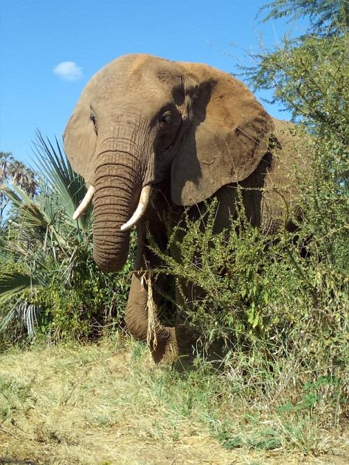 Kenya national heritage: elephant photographed in Samburu