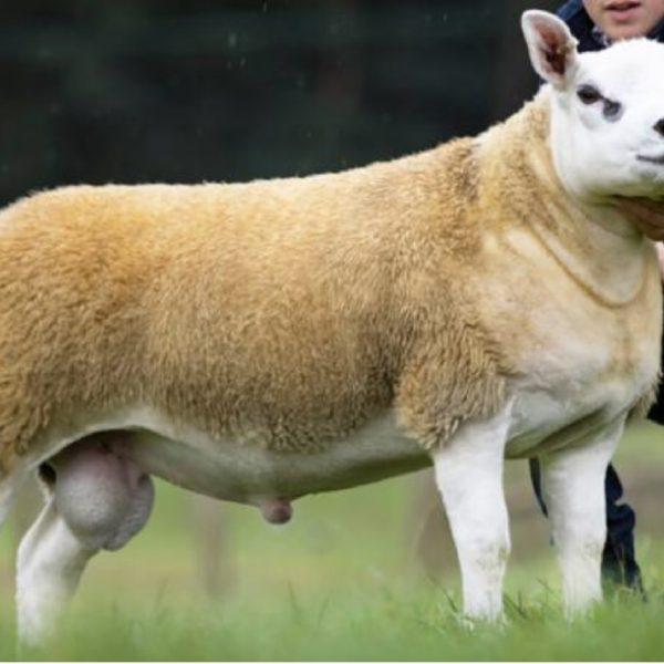 The most expensive sheep in the world sells for $450,000