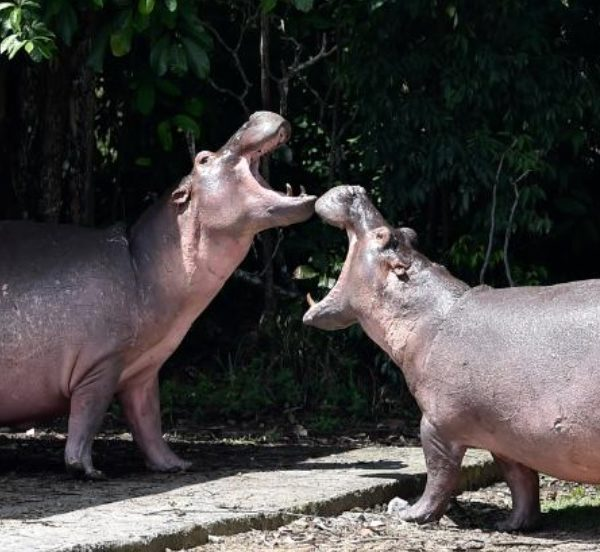 Pablo Escobar's Hippos are fast spreading