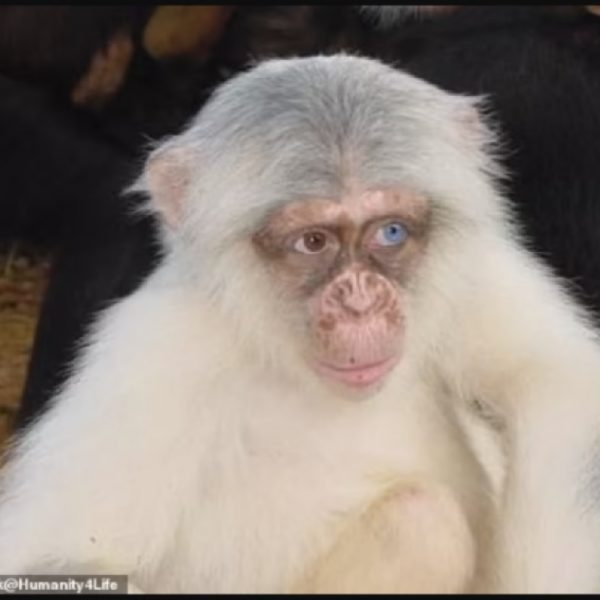 First ever albino chimpanzee spotted in Uganda shortly before it was brutally killed